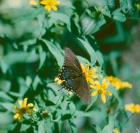 Image of: Papilionidae (swallowtail butterflies)