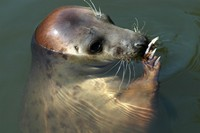Halichoerus grypus - Gray Seal