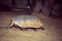 Chaetophractus vellerosus - Screaming Hairy Armadillo