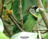 Fire-tufted Barbet - Psilopogon pyrolophus