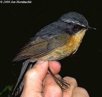 White-browed Bush Robin - Tarsiger indicus