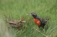 Long-tailed Meadowlark (Sturnella loyca) photo