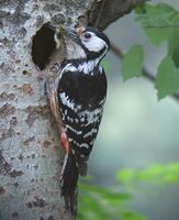 큰오색딱따구리 Dendrocopos leucotos | white-backed woodpecker