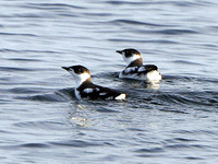 Marbled Murrelets were common near shore. 1 October 2006. Photo by Angus Wilson