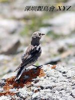Montifringilla adamsi Black-winged Snowfinch 褐翅雪雀 116-001