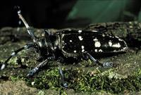 Anoplophora glabripennis - Asian Longhorned Beetle