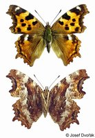 Nymphalis vaualbum - False Comma