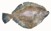 Isopsetta isolepis, Butter sole: fisheries, gamefish
