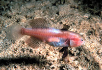 Austrolethops wardi, Small-eyed goby:
