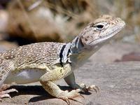 Image of: Crotaphytus collaris (collared lizard)