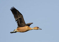 Fulvous Whistling-Duck (Dendrocygna bicolor) photo