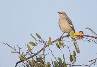 Northern Mockingbird (Mimus polyglottos) photo