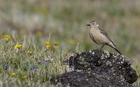 Buff-bellied (American) Pipit (Anthus rubescens) photo