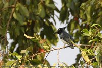 Black-and-white Shrike-flycatcher - Bias musicus