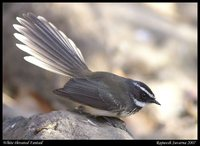 White-throated Fantail - Rhipidura albicollis