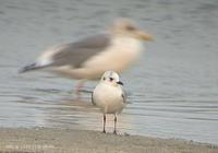 fig 5. Saunders's Gull. Shutter speed is too slow... Back is vega Gull.