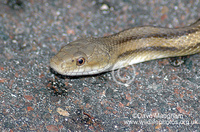 : Elaphe obsoleta ssp. quadrivittata; Yellow Rat Snake