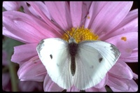 : Pieris rapae; Cabbage Butterfly