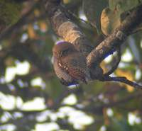 Jungle Owlet (Glaucidium radiatum) 2005. január 8. Ramnagar