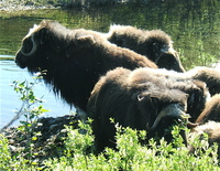 Musk Oxen, Nome. Photo by Rick Taylor. Copyright Borderland Tours. All rights reserved.
