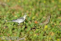 Fig 12. White Wagtail & Buff-billed Pipit :알락할미새와 밭종다리