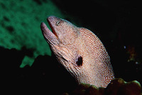 Gymnothorax nudivomer, Starry moray: