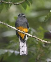 White-tailed Trogon (Trogon viridis) photo