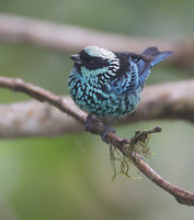 Beryl-spangled Tanager (Tangara nigroviridis) photo