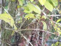 nest of a tropical mockingbird, chuchubi