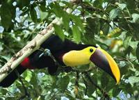 Chestnut-mandibled Toucan front-side