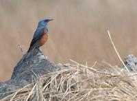 Blue rock thrush C20D 03942.jpg