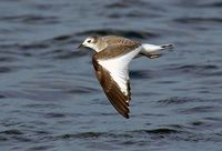 Juvenile Sabine's Gull. Photo by Patrick Beauzay.