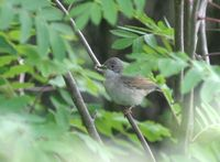 ノドジロムシクイ Greater Whitethroat Sylvia communis
