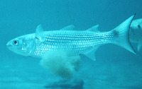 Mugil curema, White mullet: fisheries, aquaculture, bait