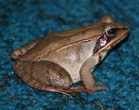 Image of: Rana sylvatica (wood frog)