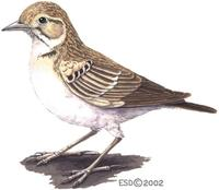 Image of: Calandrella brachydactyla (greater short-toed lark)