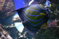 Pomacanthus annularis - Blue Ring Angelfish