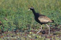 Bronze-winged Jacana - Metopidius indicus