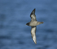 Short-tailed Shearwater (Puffinus tenuirostris) photo