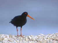 Variable Oystercatcher (Haematopus unicolor) photo
