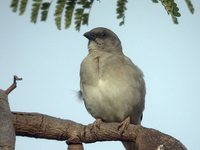 Gray-headed Sparrow - Passer griseus