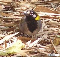 White-eared Ground-Sparrow - Melozone leucotis