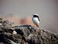 Mourning Wheatear (Oenanthe lugens)