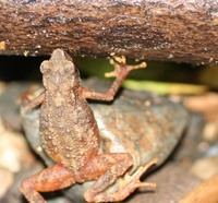 : Ansonia longidigita; Long-fingered Slender Toad