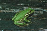 : Litoria aurea; Green And Golden Bell Frog