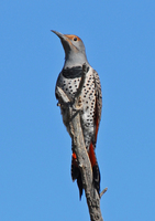 : Colaptes auratus; Northern Flicker