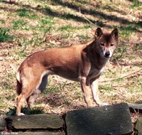 : Canis lupus halstromi; New Guinea Singing Dog