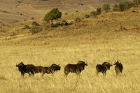: Connochaetes gnou; Black Wildebeest