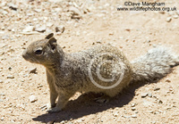 : Spermophilus variegatus; Rock Squirrel