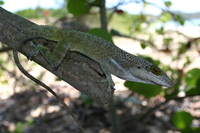 : Anolis leachii; Barbuda Bank Tree Anole